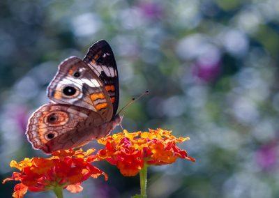 "<em>Buckeye on Lantana</em>, photography, 24"" x 18"""
