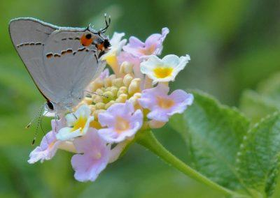 Grey Hairstreak on Lantana