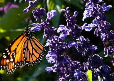 Monarch Moment