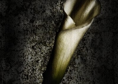 <em>Midnight Calla Lily</em>, photography